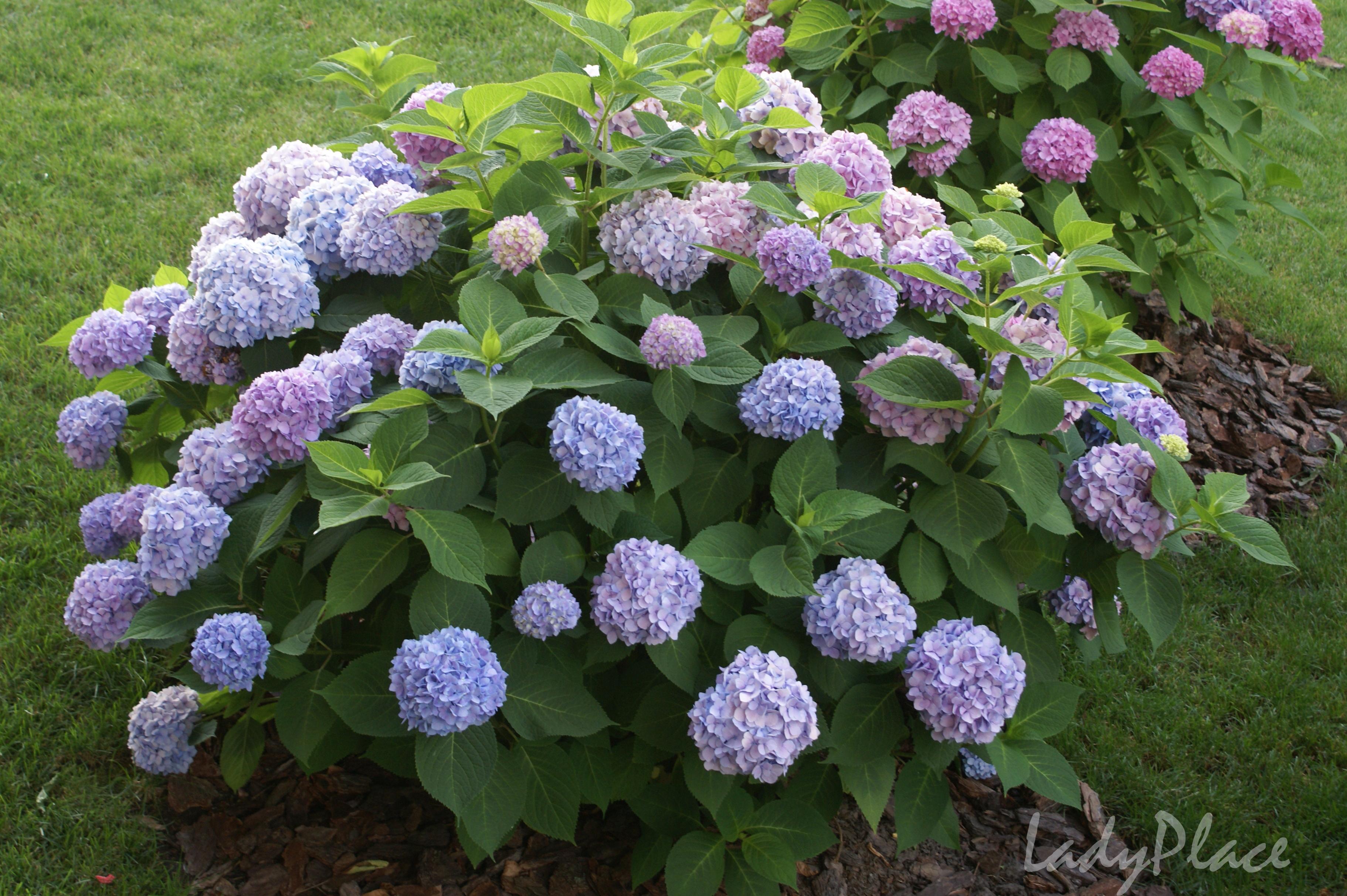 Гортензия садовая  flowergardensru