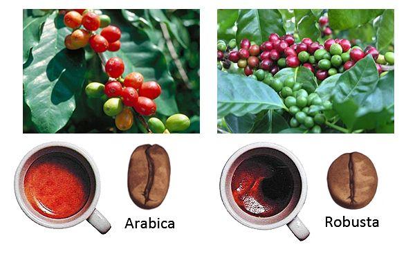 сорт кофе арабика и робуста