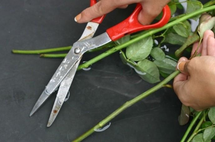 срезать стебли роз