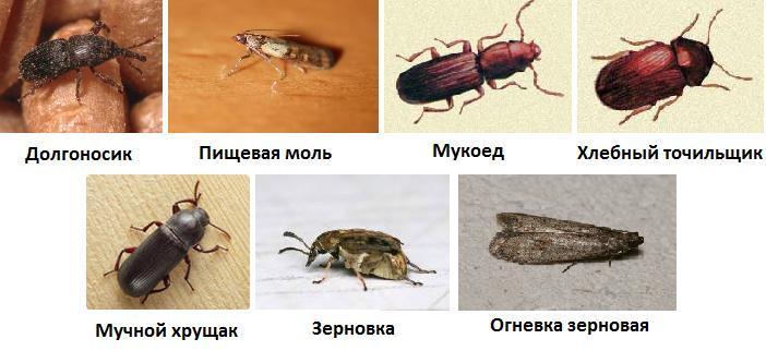 виды насекомых вредителей на кухне