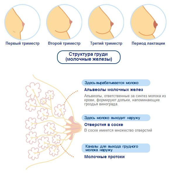 молочная железа при беременности