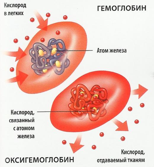 роль гемоглобина в организме человека